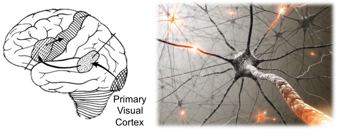 Visual cortex - Wikipedia |Visual Cortex